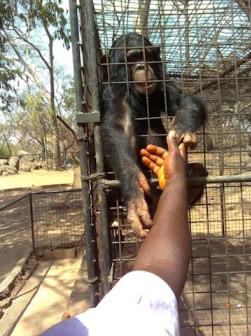 UNNs only surviving Chimpanzee dies at 50 lindaikejisblog