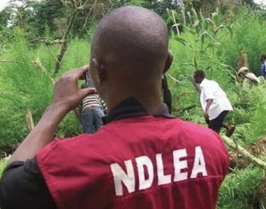 67-year-old man arrested with 7.2 kg cannabis in Gombe State