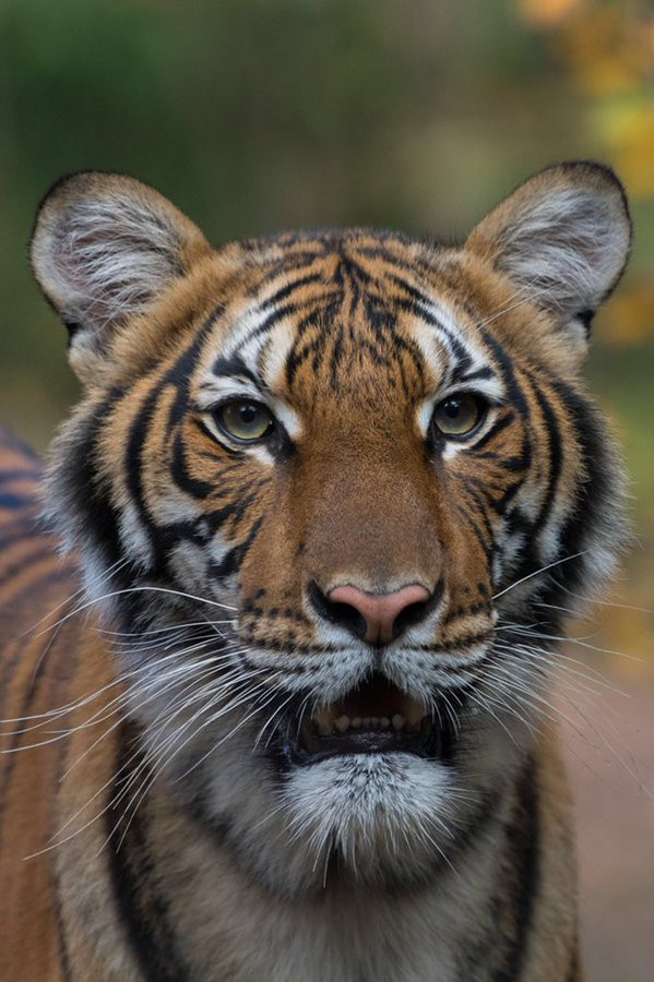 COVID-19: Tiger at a zoo in New York City tests positive for Coronavirus