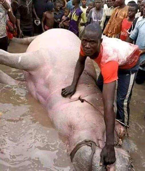 Fisherman catches huge Hippopotamus in Bayelsa