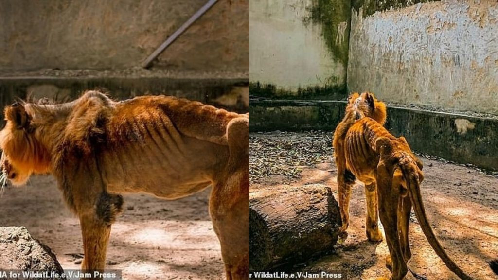 Kaduna zoo bars journalists from entering facility after photos of starving lion and other animals went viral lindaikejisblog