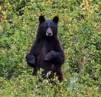 Woman, 39, 'killed and partially eaten' by bear as she walked dogs